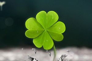A Lucky Four Leaf Clover